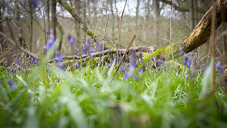 Blue bells flowering in Springtime on a forest floor.jpeg
